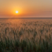 The sun is setting with an orange glow over a field of ripe wheat on the great plains of the United States.